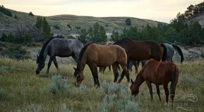 wild horses at Theodore Roosevelt National Park South Unit in North Dakota