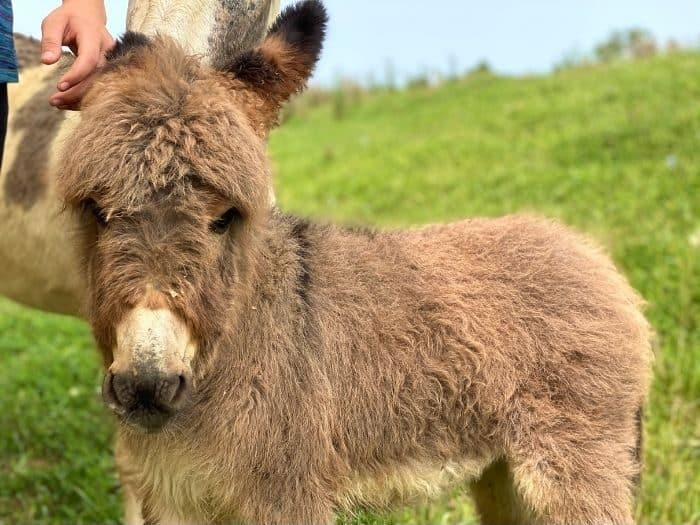 Baby donkey at Hidden Lake Farm