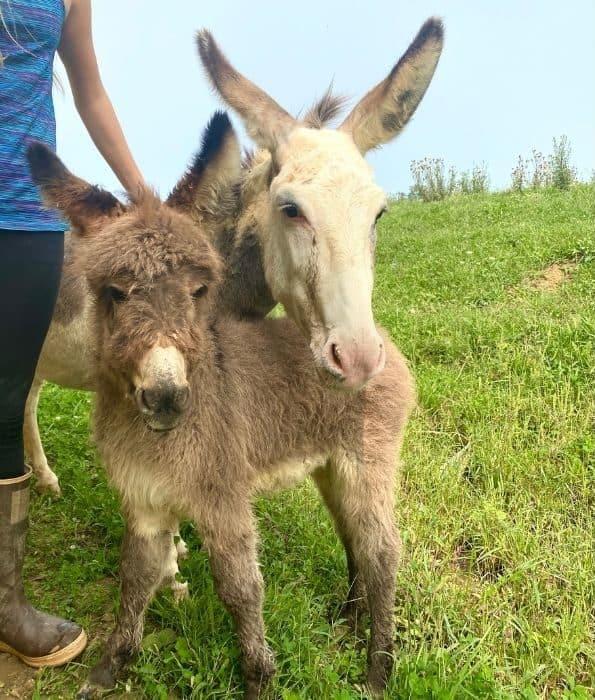 baby donkey and mom and Hidden Lake Farm