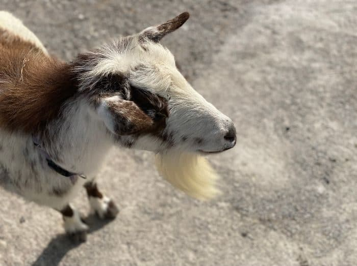 goats at petting zoo at the Ark Encounter