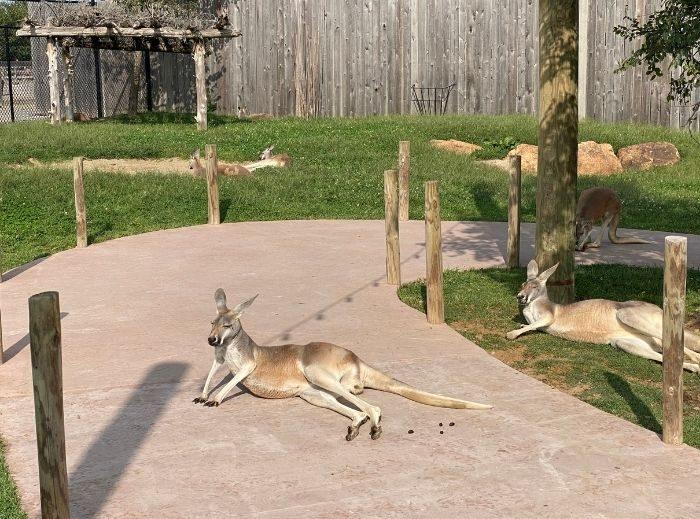 kangaroo walkabout at Ararat Ridge Zoo at the Ark Encounter