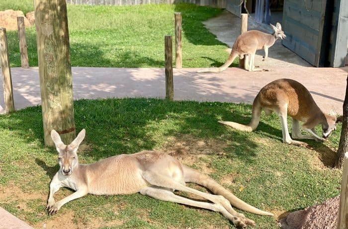 kangaroo walkabout at the Ark Encounter