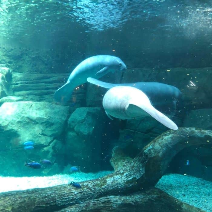 manatees at the Cincinnati Zoo