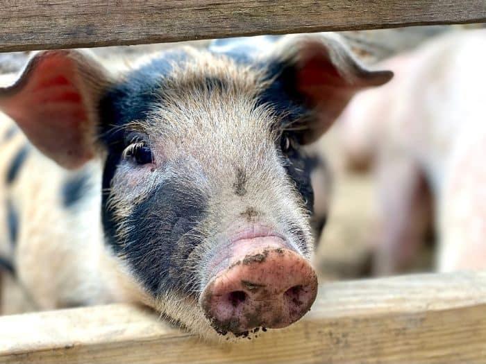 baby pig at petting zoo at GoFAR USA Park