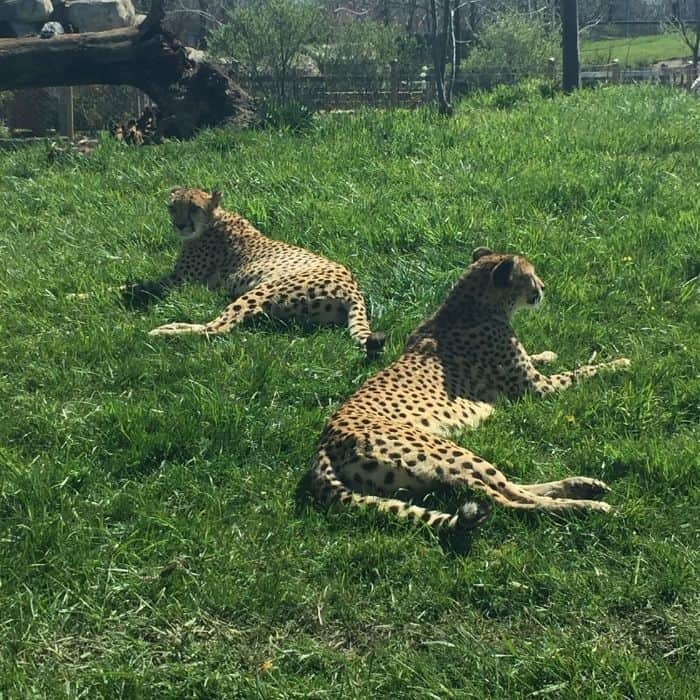 cheetahs at the Indianapolis Zoo