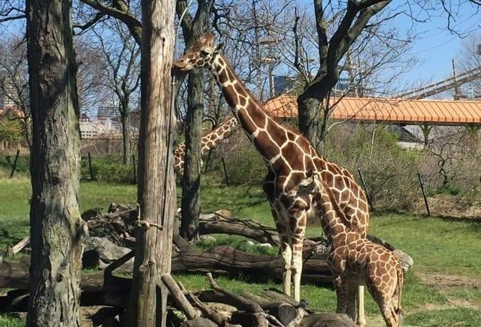 giraffes at Indianapolis Zoo