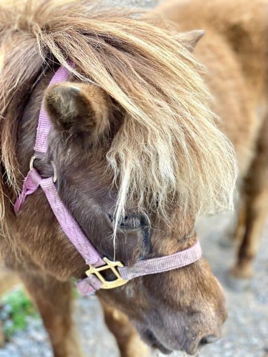miniature horse at the petting zoo at GoFAR USA Park