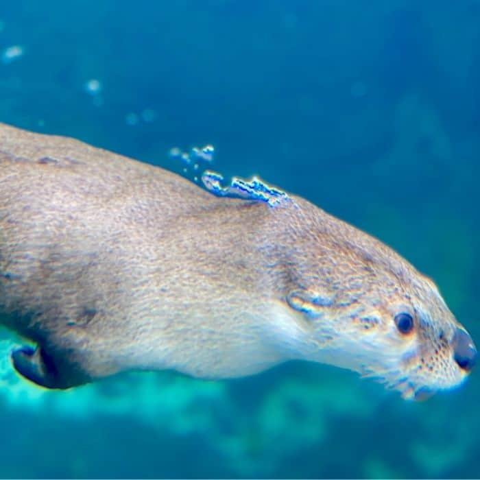 North American River Otter at Mississippi Aquarium