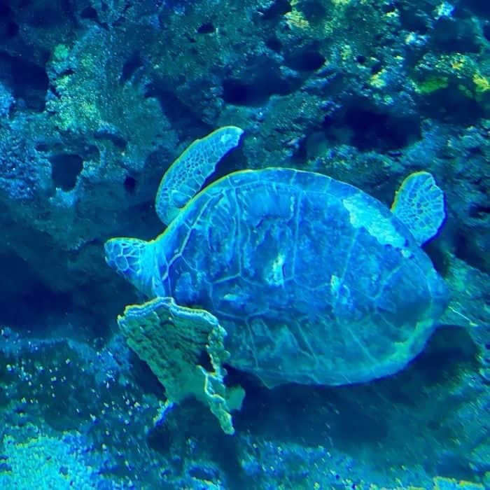 sea turtle at Mississippi Aquarium