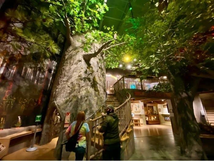climb Big Tree at Cook Museum of Natural Science