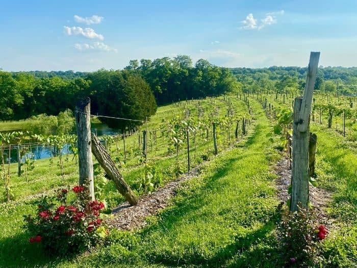 vineyards at Vinoklet winery