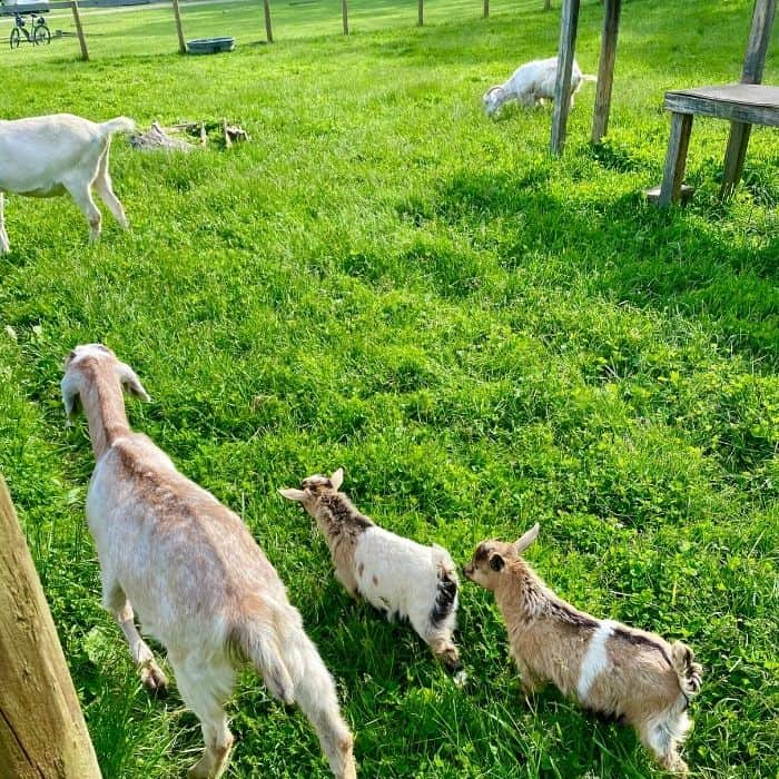 goats-at-Schoolhouse-restaurant