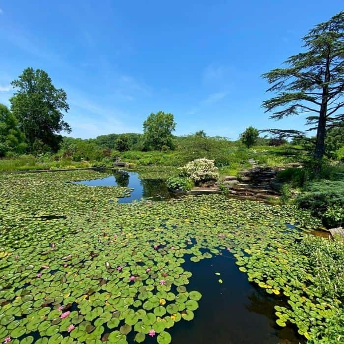 water lilies at Holden Arboretum