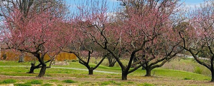 Peach trees at Reeves Peach Farm