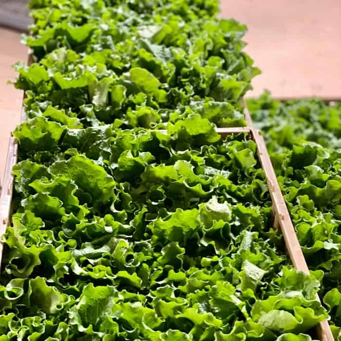 lettuce at Manna House Hydroponic Gardens