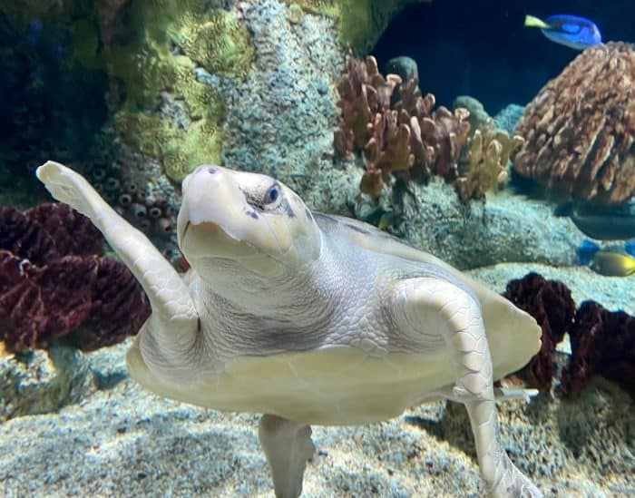sea turtle at aquarium at Cook Museum of Natural Science